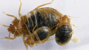 Vägglöss blir fem till åtta millimeter långa. Egentligen är de inga löss utan tillhör skinnbaggarna.
