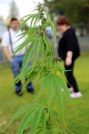 Vacker och ståtlig är plantan. Både Peder och mamman Marit funderar hur plantan kommit dit