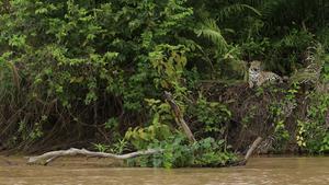 En jaguar vilar intill en flod.