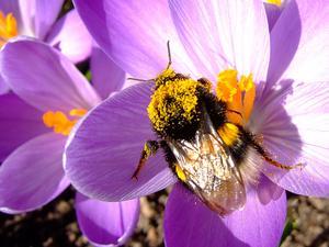 Första humlan gladde oss på påskafton, den 3 april. Den besökte våra krokusar och blev översållad med pollenkorn, både på ryggen och på benen. Foto: Arne Gustafsson, Västerås