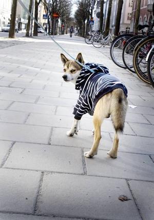 Va´re nåt? Har du inte sett en tröjhund förr? Ludde på vårpromenad iklädd en marinblå tröja med huva.