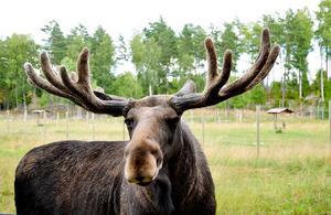 Holger finns tillsammans med 11 st andra älgar i Gårdsjö älgpark utanförMorgongåva. Han är så tam så man kan klappa honom och även kännapå hans stora hornkrona. Bilden tagen på två meters avstånd, han tittarrakt in i kameran.