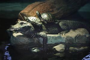 Mamma krokodil verkar inte allt för upphetsade över att hennes barn håller på att födas. Hon leker med sina kompisar sköldpaddorna i bassängen i stället.
