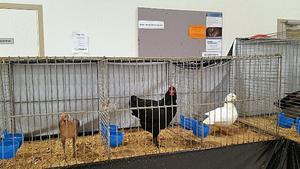 Den svarta Australorohönan fick den i särklass bästa poängen på utställningen