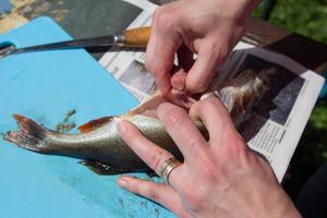 Använd händerna för att tur innanmätet på fisken.