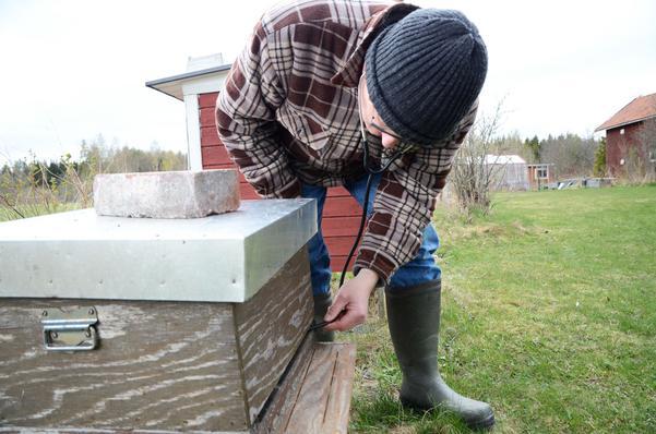 Carl-Magnus Reinerstedt använder sig av ett stetoskop för att under vintern lyssna till hur bina mår. Surrar det därinne är allt lugnt. Han stoppar stetoskopet genom öppningen som kallas för flustret.