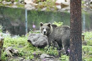 Det var en ung brunbjörn som attackerade den 18-årige djurskötaren på Orsa Rovdjurspark. 18-åringen avled i sviterna av de skador som uppkm i samband med attacken.
