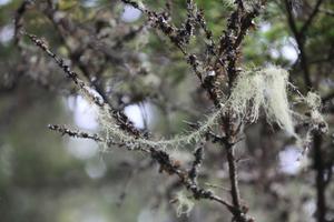Långskägget känns ofta igen för att det liknar girlanger i träden.