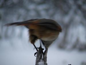 Fotade lavskrikor i Grövelsjöfjällen i julas. Jag gillar denna bild trots fågelns rörelse som orsakar oskärpa.
