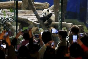 Turisterna trängs för att se på pandabebisen.