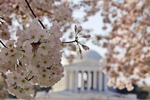 Blommor vid Jefferson Memorial i Washington.