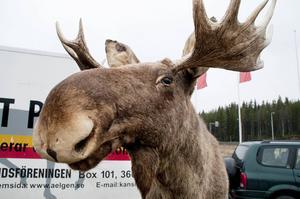 Förra året var 431 älgar inblandade i viltolyckor i Jämtland.