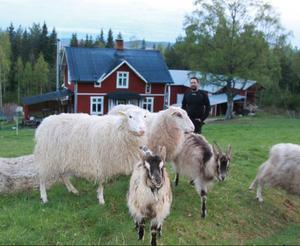 Trots att Magnus Nordqvist har sina får och getter i en hage precis utanför huset så hindrade det inte en hungrig björn att in och riva ett av fåren.