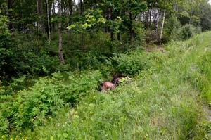 Älgkadaver. Trafikdödad älg i pingst låg fortfarande kvar under onsdagen på länsväg 204 norr om Fjugesta.