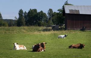 Kossorna som levererar mjölken till Bergsjö Glass har sjön som utsikt från sovplatsen i hagen.