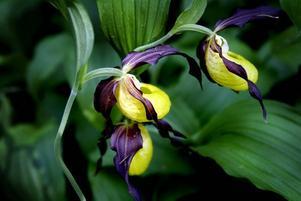 VACKER OCH STÅTLIG. Den gula och svarta guckuskon är en fridlyst orkidé. Den blommar halva juni och trivs bara i kalkrika marker.