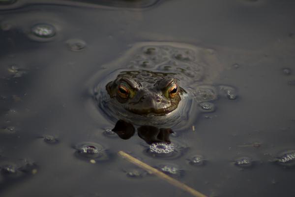 Gick förbi en liten damm och såg hundratals grodor som var våryra. :) Detta var en av dem.
