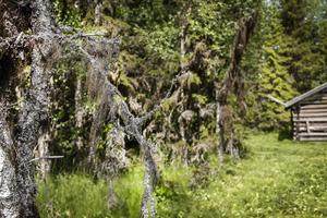 Massor av hänglavar pryder träden längs ängen.