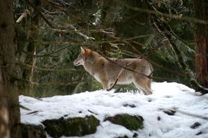 En varg fotograferad på Nordens Ark.