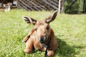 Älgkalven Ruben är sex veckor gammal.