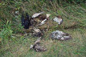 De döda djuren som hittades i Åmyren i Jättendal finns nu på Statens veterinärmedicinska anstalt där de ska obduceras.