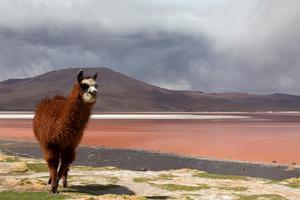 I Bolivia har man länge ätit lama. Men nu har det blivit inne även på finare restauranger.