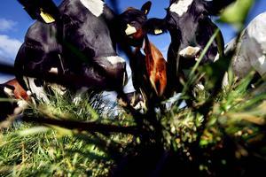 I dag tog Livsmedelsverket beslut om att den opastöriserade mjölken ska få säljas i mindre mängder.