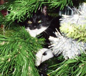 """busan firade jul i granen.""""Min katt som heter Busan har firat sin första jul med mig, ja eller i granen för det var den mest populära plats jag kunde erbjuda. Det sägs att för tre tusen år sedan var katten helig och det har den inte glömt. Busans självständighet är det mest tilltalande med den."""" Foto: Annika Enarsson, Frösön."""