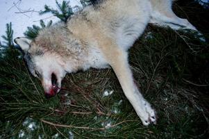 Länsstyrelsen i Västmanland har inte motiverat sitt jaktbeslut bra nog, enligt domen från förvaltningsrätten i Uppsala. Arkivbild.
