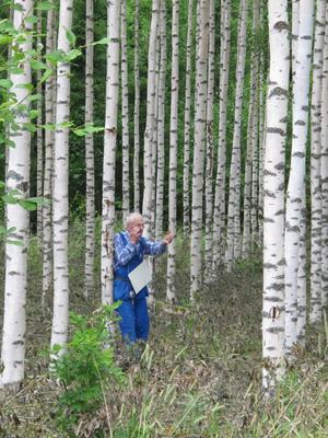 Skogsberäkning, av Tage Larsson i hans vackra Björkskog i Lövsta.