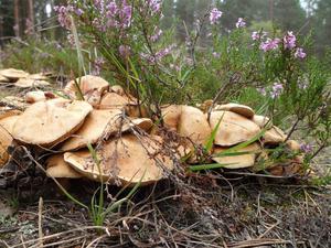 Den här drivan med svampar såg jag vid Lindmuren.De såg goda ut men jag visste inte om de var ätliga så de fick stå kvar.