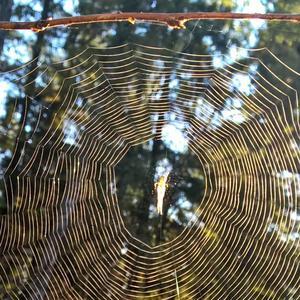 När spindelnäten efter nattens dagg strålade vackert i solens tidiga morgonsken togs flertalet bilder på detta fina konstverk o underskriven tyckte då med trötta ögon att spindeln i mitten var ovanligt fin. Nu när bilderna granskas ser man att det inte alls är en spindel i mitten. Samma på alla bilder... Vad ÄR det...!? En älva? Säger ju det, Irstaskogen är en trollskog!
