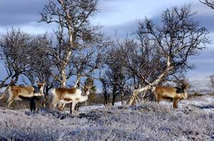 Samerna motsätter sig en gruva bland annat för att rennäringen skulle påverkas negativt.