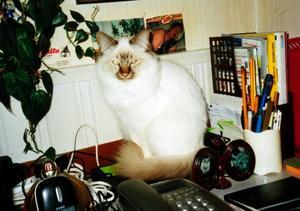 """prince förstår allt jag säger.""""MIn Helig Birma-katt, som heter Prince, är den jättegoaste man kan tänka sig. Han är min """"sängkamrat"""", han ligger på min arm under täcket. Jag tror han förstår allt jag säger. Följer mig som en hund. Han är mjuk, go och social, en snygging som är bra för psyket. Den bästa katt man kan ha"""". Bilden är inskickad av Birgitta Ågren Lindholm, Mattmar."""