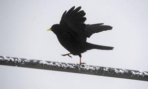 I boken Månfågel längtar Vendela efter en vän. Då ger sig Wilhelm till känna, men han verkar leva på 1800-talet. Överallt dyker en koltrast upp, som länk mellan de olika tidsåldrarna.