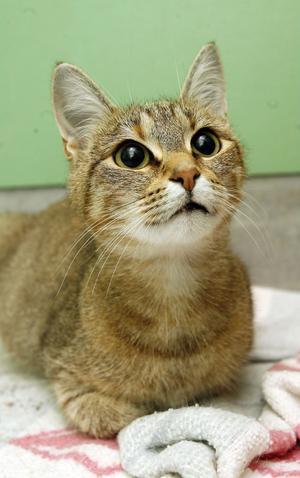 Övergivna katter som lämnas vind för våg är ett återkommande problem. Den här honkatten finns nu hos djurskyddsföreningen Bill och Bull.