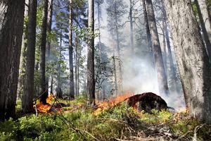 Många av tallarna i reservatet bär spår av den senaste skogsbranden som inträffade 1910.