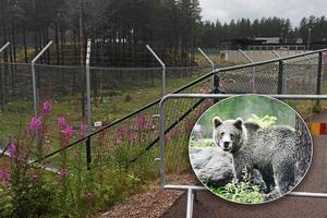Kammaråklagare Gunnar Jonasson bekräftar för P4 Sveriges Radio Dalarna att det var två björnar i hägnet när djurskötaren dödades. OBS: Björnen på bilden är inte någon av de aktuella björnarna.
