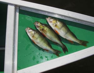 Tre fick följa med hem. Abborre passar utmärkt till fish and chips.