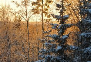 Midvintersolen lyser över den frusna skogen.
