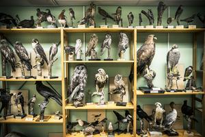 Det är en imponerande samling av uppstoppade fåglar som finns på Skogsbruksmuseet i Bisprgården.