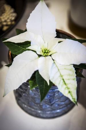 En enkel vit julstjärna i en kruka skapar en fin adventskänsla.