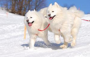 Oavsett ras kan alla hundar lära sig att dra. Allt från stora renrasiga schäfrar och fågelhundar till blandraser och småhundar som taxar. Här är det två samojeder som jobbar i snön.