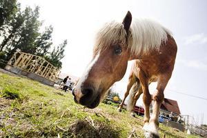 Islandshästen Hrappur har sedan skärattackerna fått vara i den hage där han är mest synlig för grannskapet.