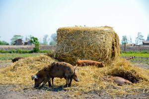 Jonas Norberg, medlem i Djurens parti, tycker inte att grisar ska födas upp för att ätas.