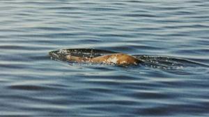 Äventyraren Anders Stävhag såg något minst sagt annorlunda i Storsjön på söndagen.