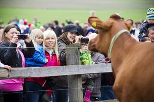 Men vad kollar ni på? Har ni inte sett en ko förut?Ingemar Sundberg ordnade ett offentligt kosläpp för första gången.