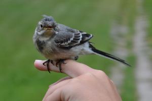 Denna lille vän hade flygit in i vårat trapphus. Min dotter räddade den. Men när hon kom ut ville den inte släppa taget om hennes finger.