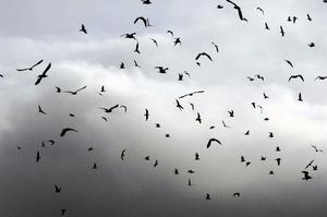 Plötsligt föll tusentals fåglar ned över Arkansas. De hade blivit chockade och skrämda av fyrverkerier och flugit in i varandra och föremål. OBS! Bilden är tagen i ett annat sammanhang.