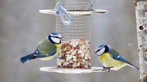 När vintern och kylan kommer är fågelholkar viktiga för att blåmesar och andra arter ska överleva.